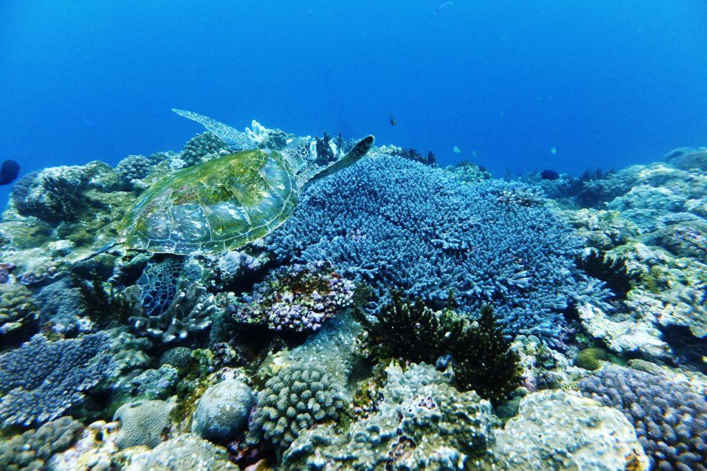 サンゴ礁とアオウミガメ