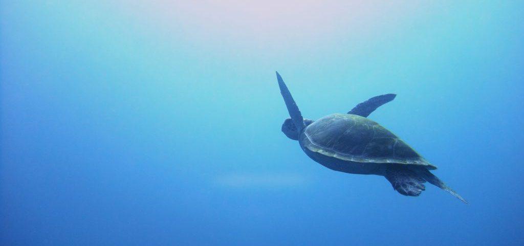 浮上するアオウミガメ