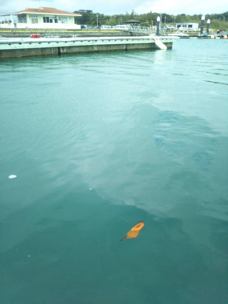 ナンヨウツバメウオの幼魚1