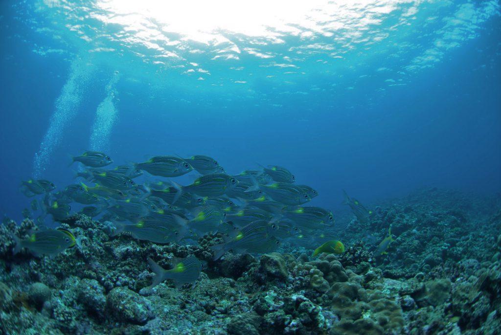 体験ダイビングでノコギリダイの群れ