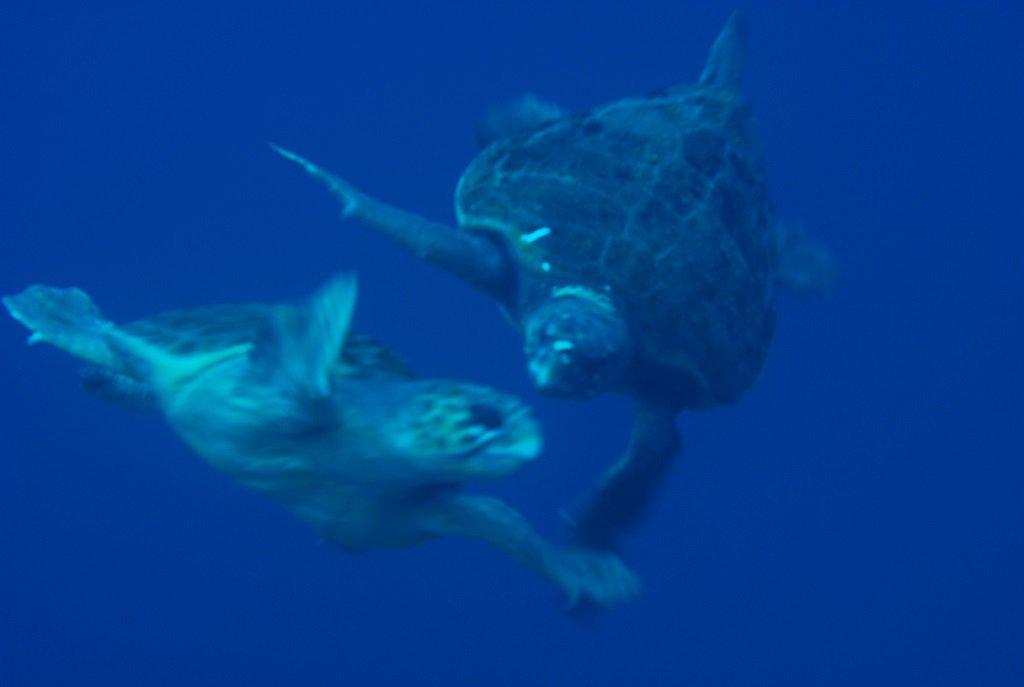 アカウミガメの求愛3