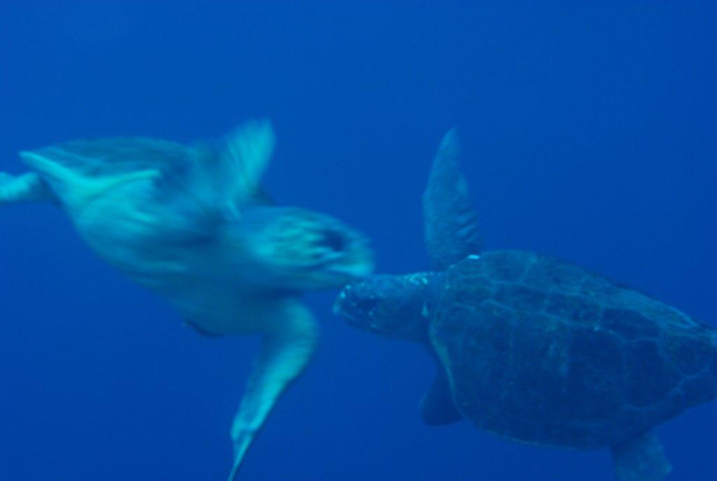 アカウミガメの求愛2