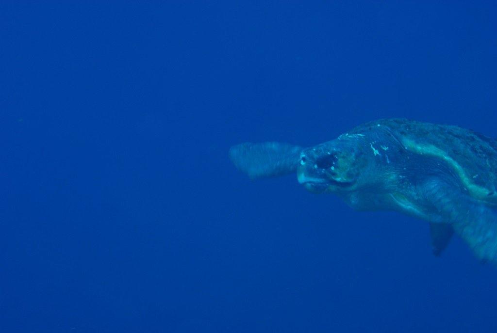 アカウミガメの求愛4