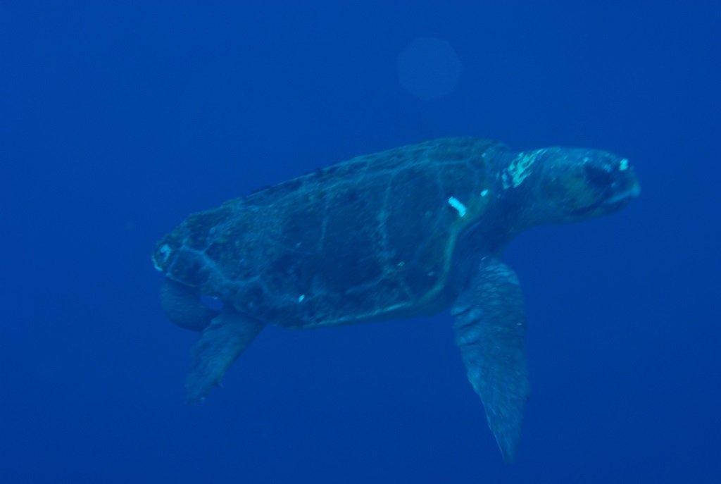 アカウミガメの求愛1