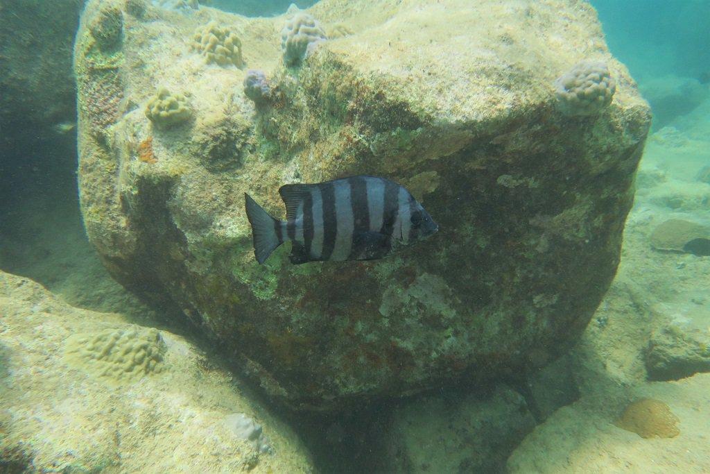 イシダイの幼魚