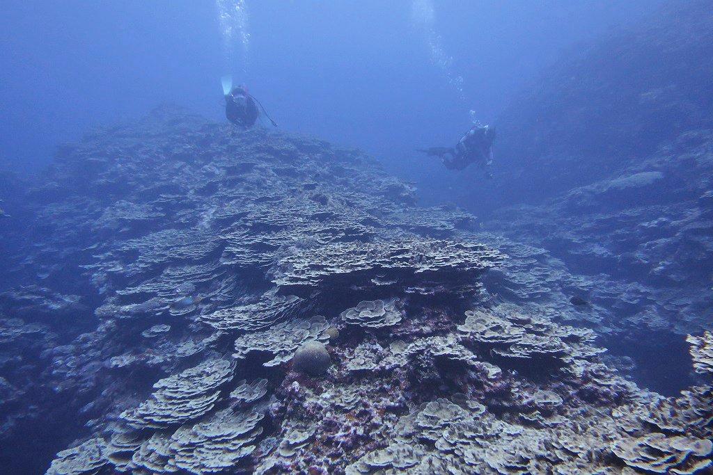 パラオハマサンゴの群生①