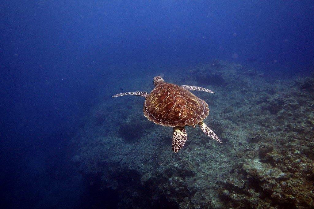 泳ぎ去るウミガメ