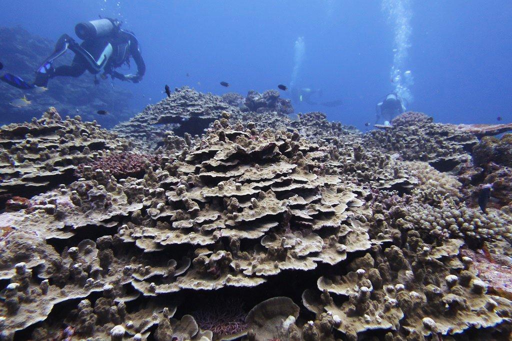 パラオハマサンゴの群生