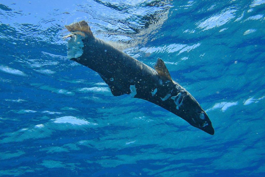 食われたサメ