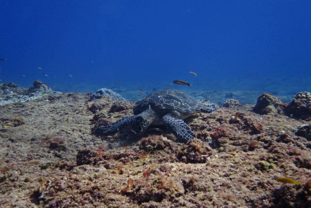 捕食中のウミガメ