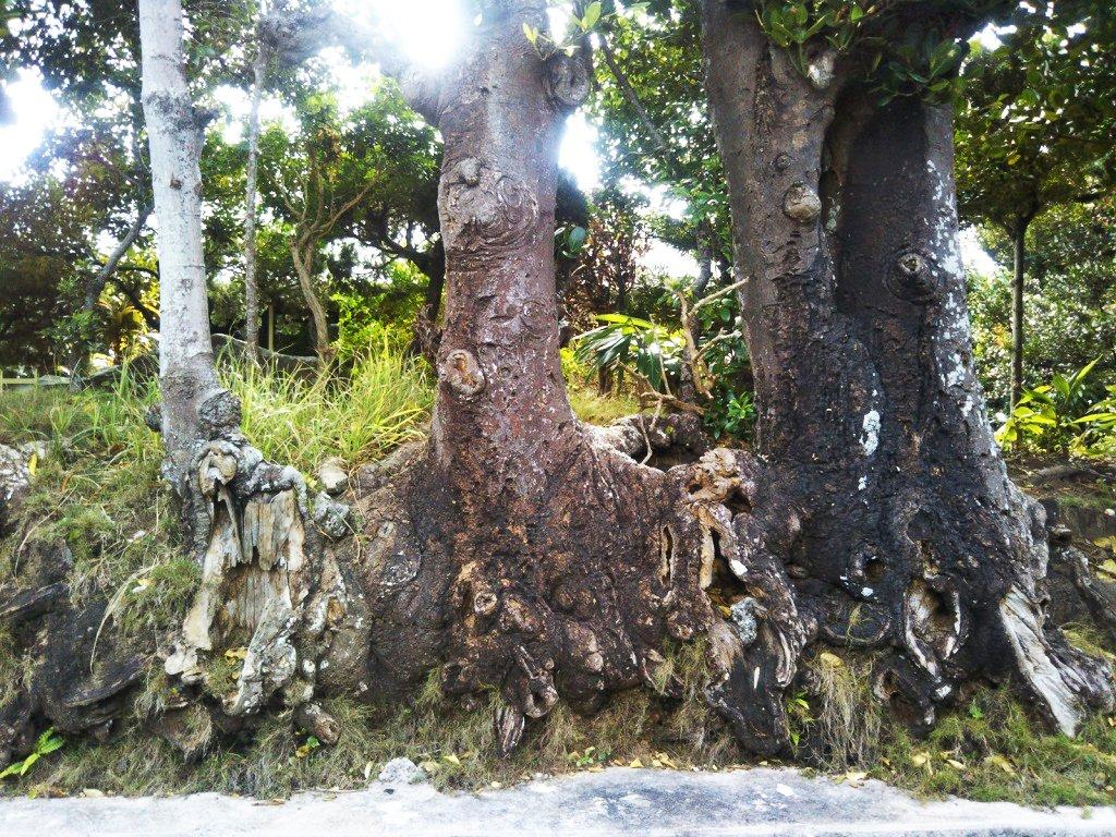 福木の根っこ