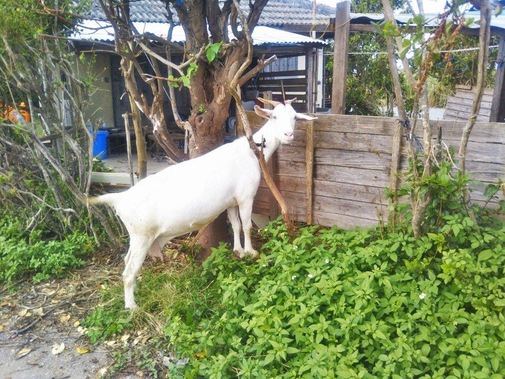 沖縄のヤギ