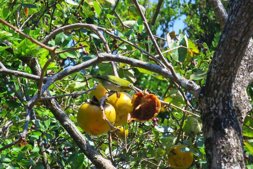 柿に夢中のメジロ