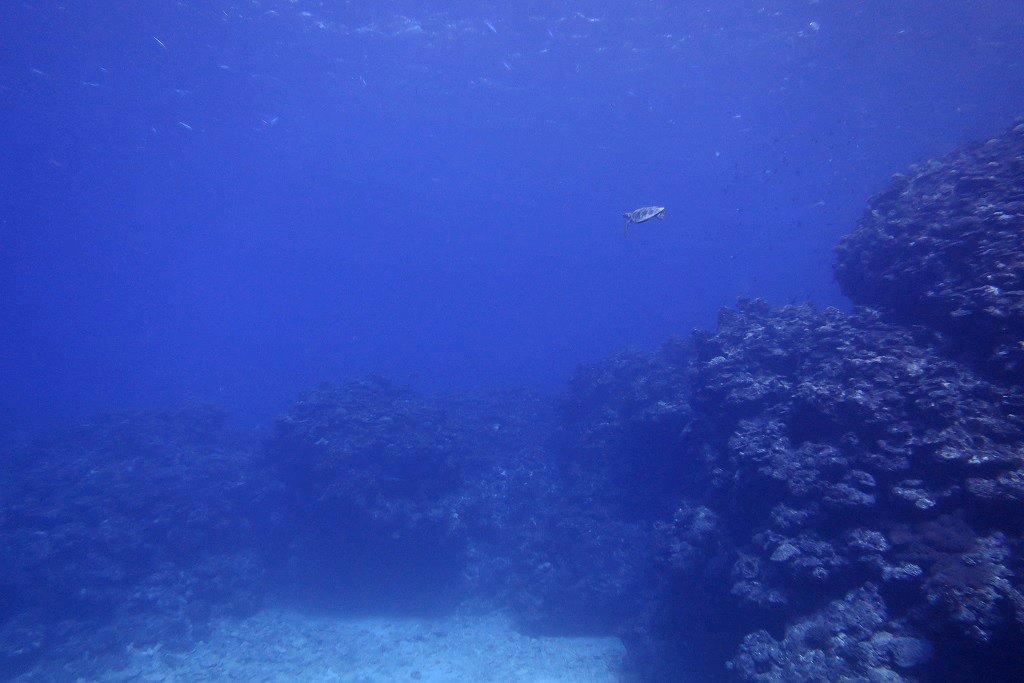 ウミガメと遭遇