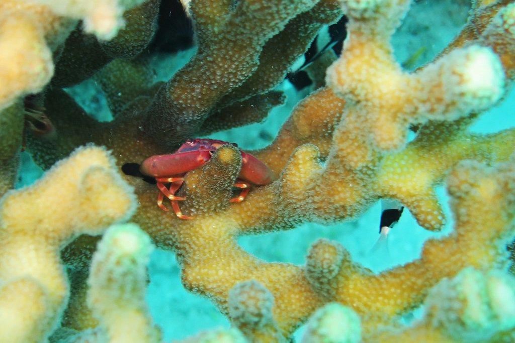サンゴの隙間にカニ