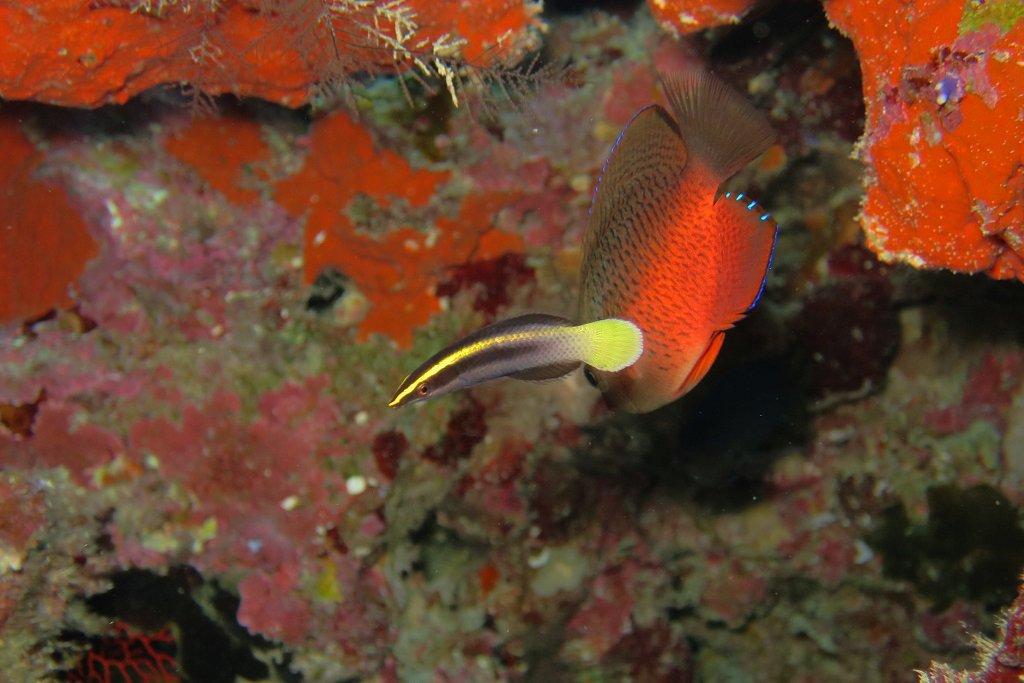 ソメワケベラ若魚