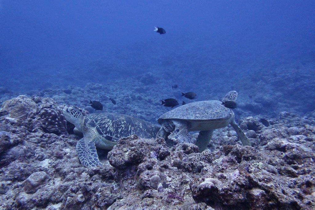 クリーニング中のウミガメ