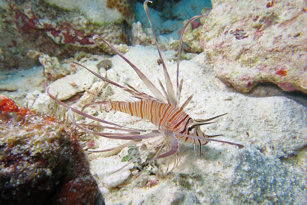 ハナミノカサゴ若魚