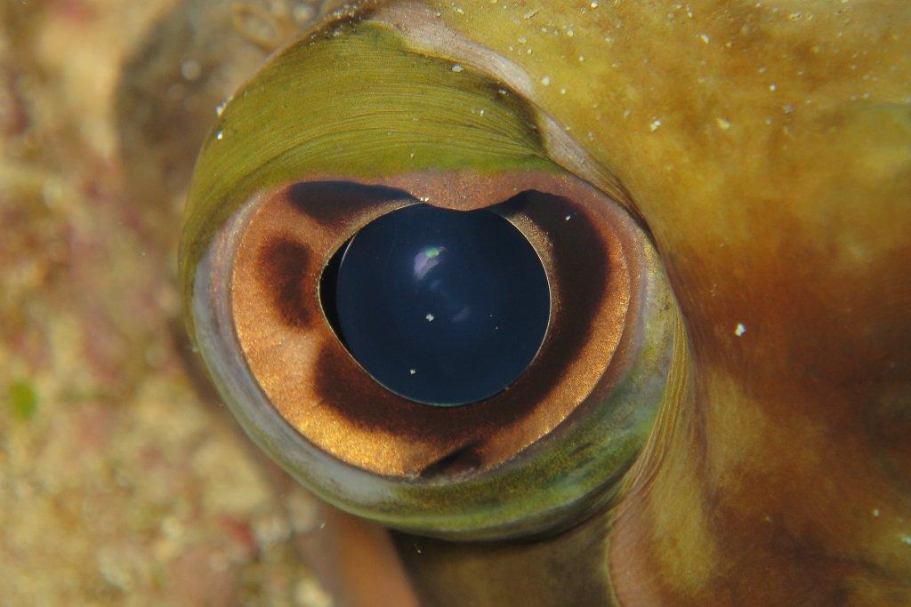 ハリセンボンの目
