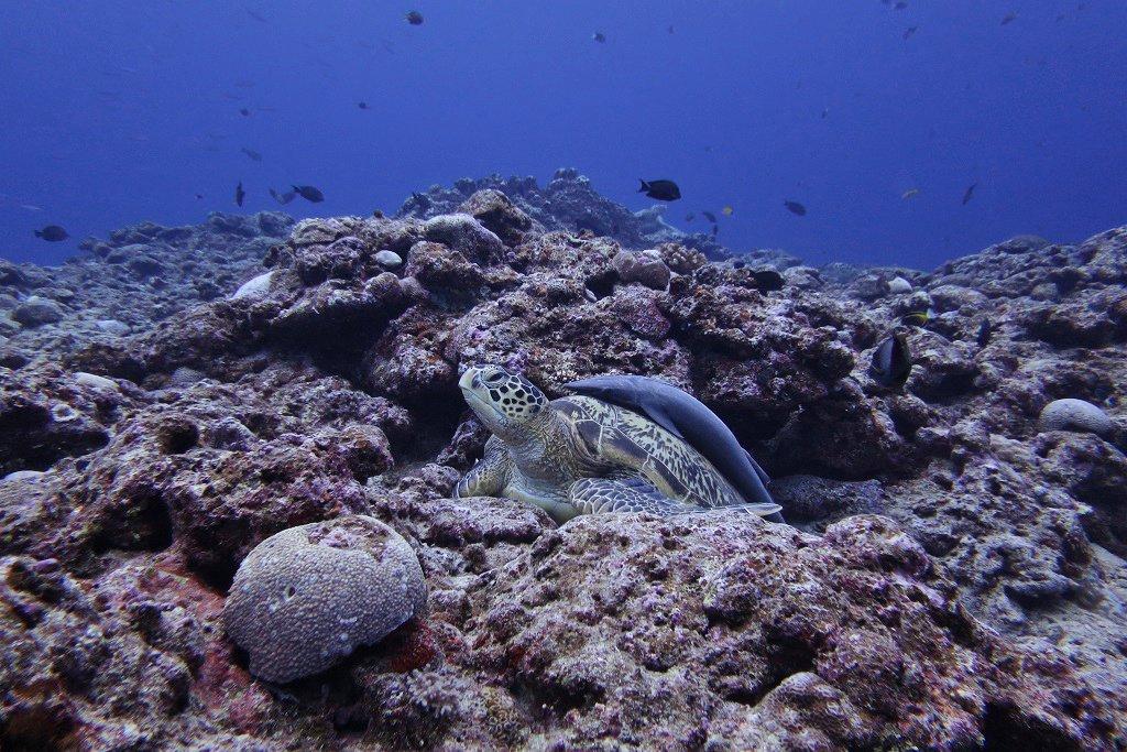 アオウミガメとコバンザメ