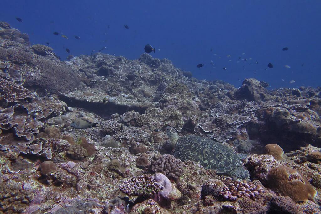 休憩中のアオウミガメ