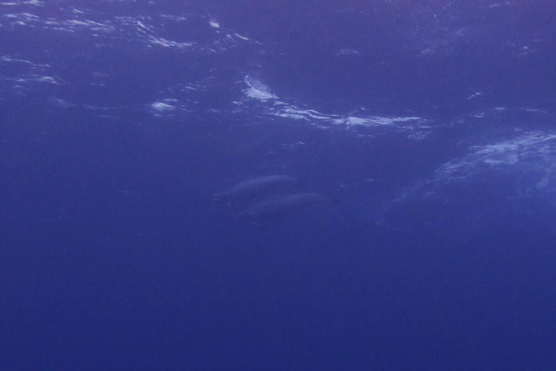 ハシナガイルカ