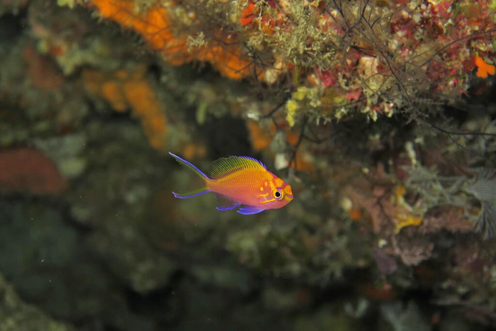ハナゴンベの幼魚