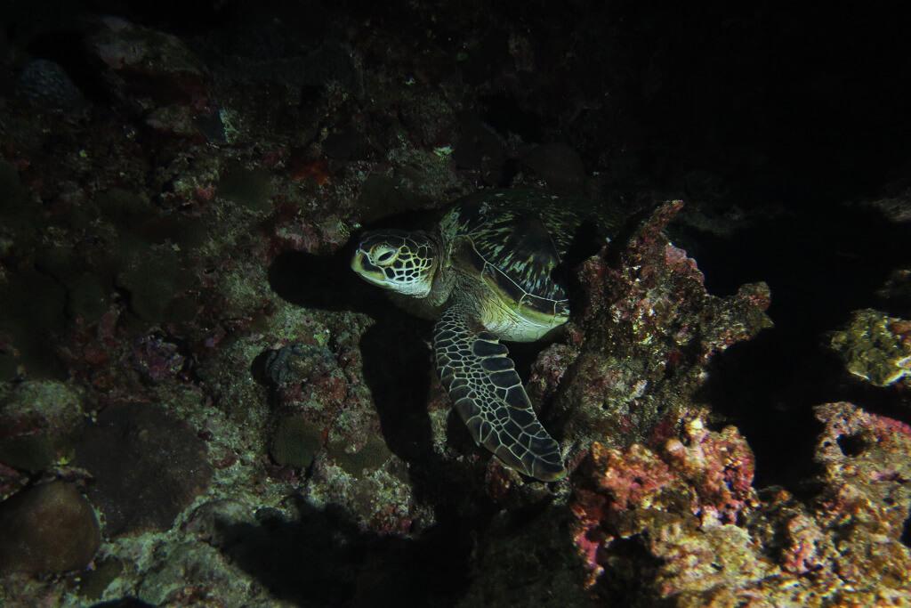 夜のアオウミガメ