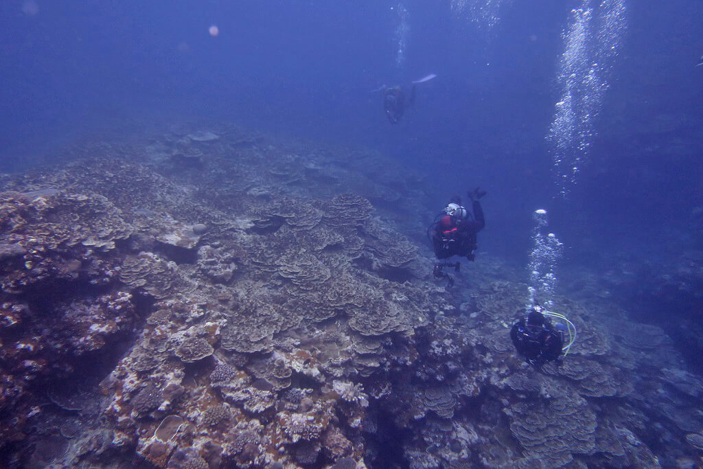 阿嘉下のパラオハマサンゴ