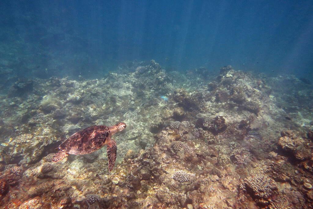 日差しを浴びるアオウミガメ