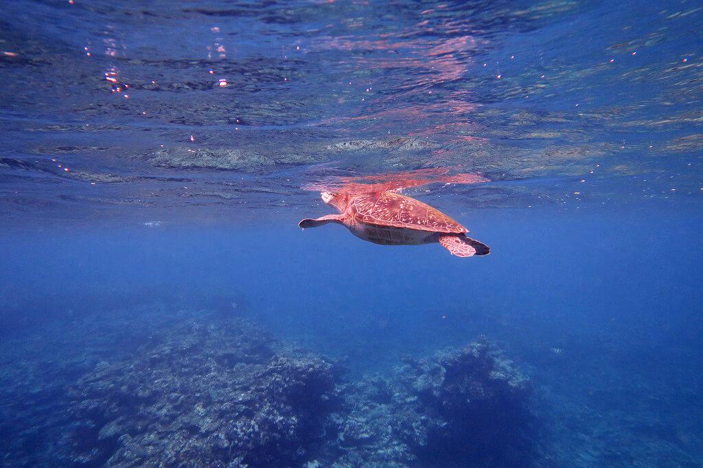 呼吸するウミガメ