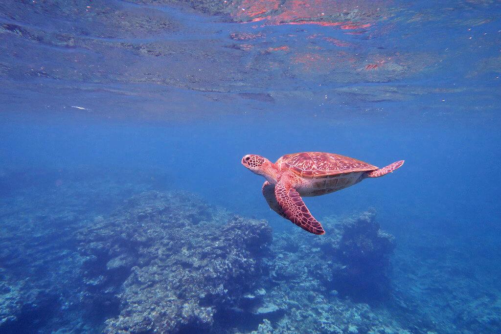 体験ダイビング ウミガメ