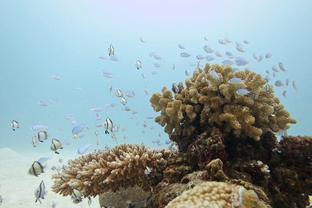サンゴに群れるデバスズメダイ