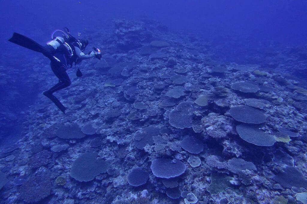 テンーブルサンゴの群生
