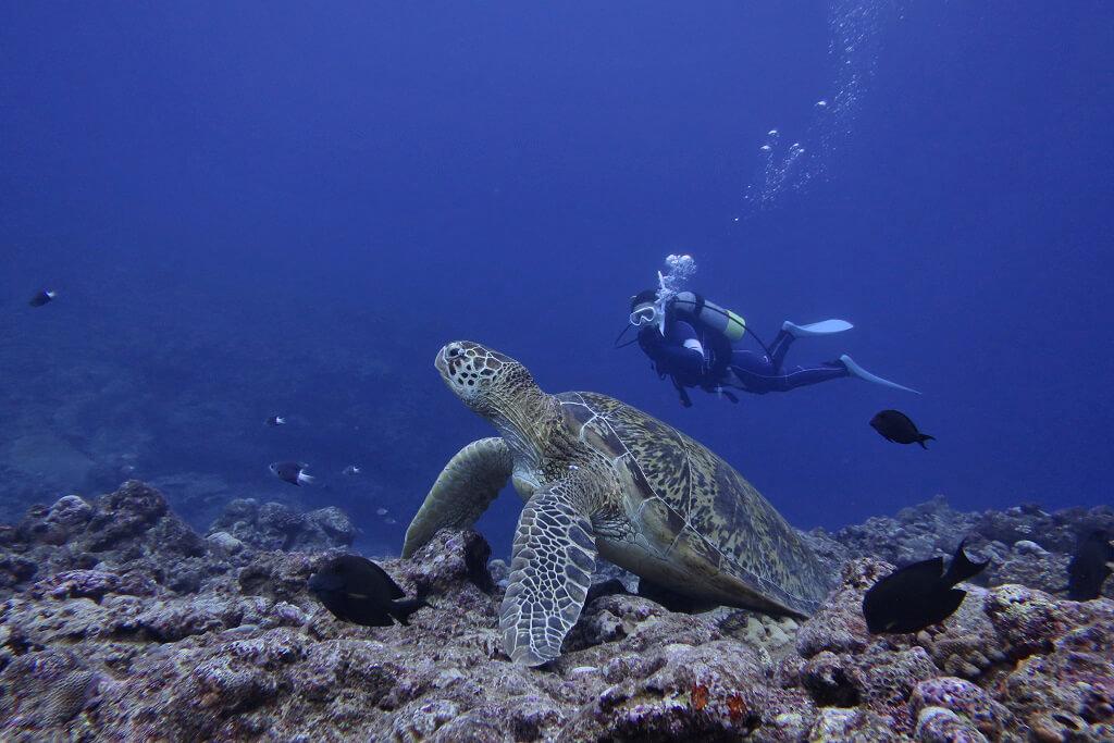 特大アオウミガメ