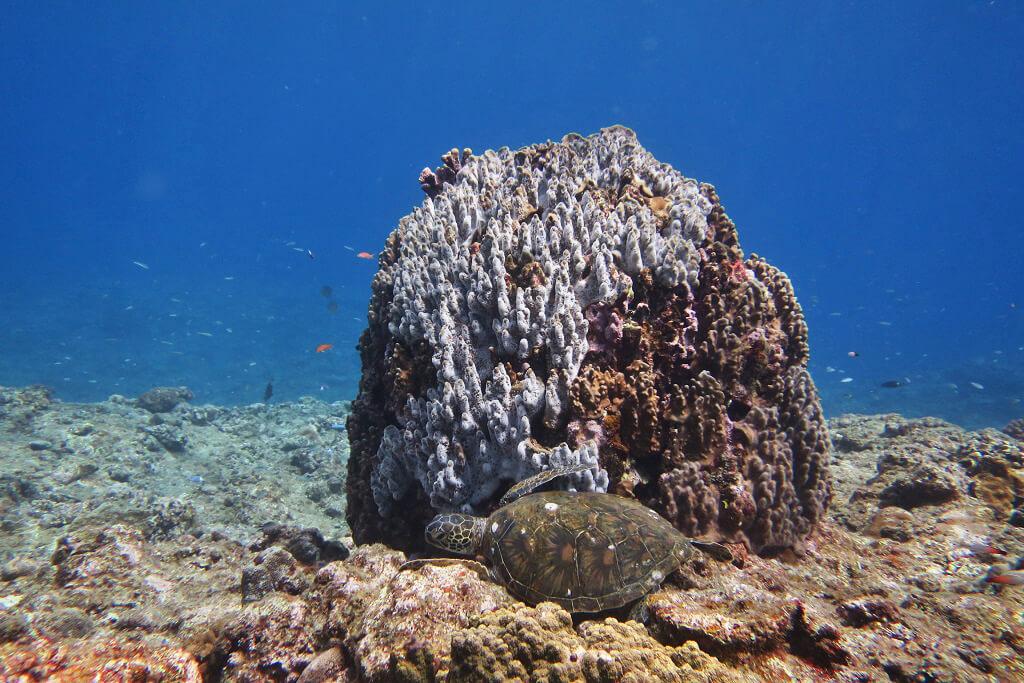 サンゴに寄り添うウミガメ
