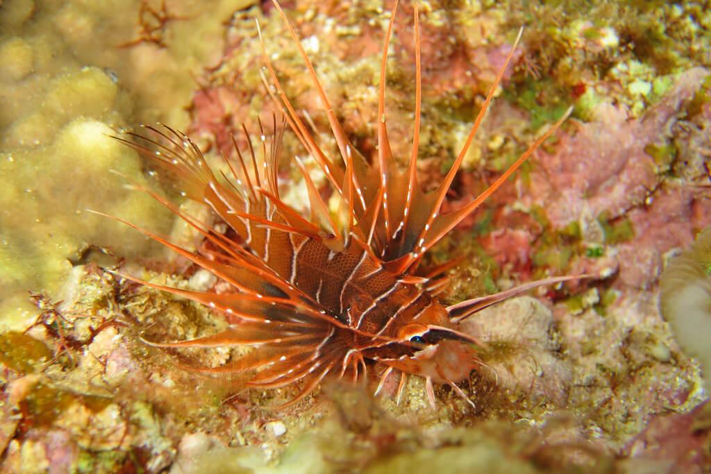 ミノカサゴの幼魚
