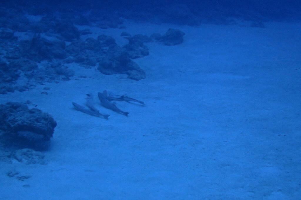 コバンザメの休憩