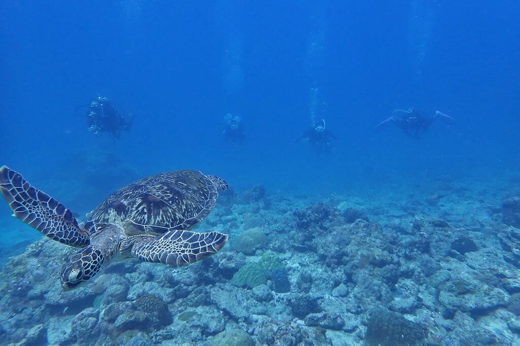 赤灯台のアオウミガメ