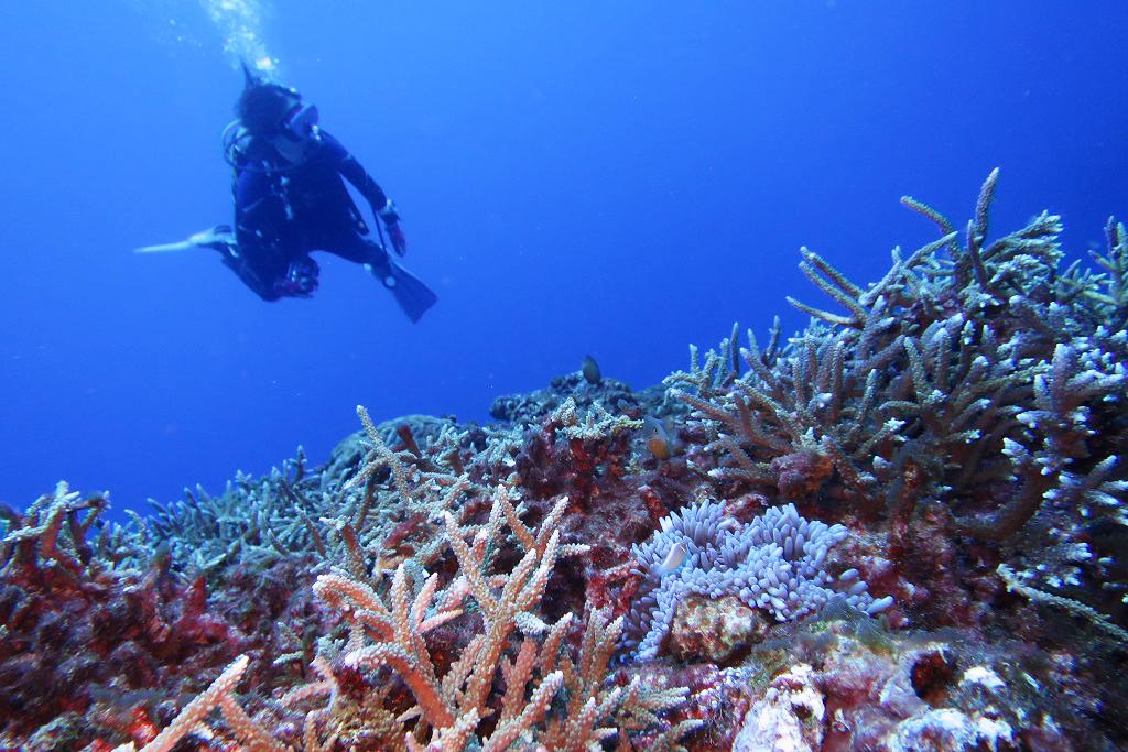 トリノクチのサンゴ
