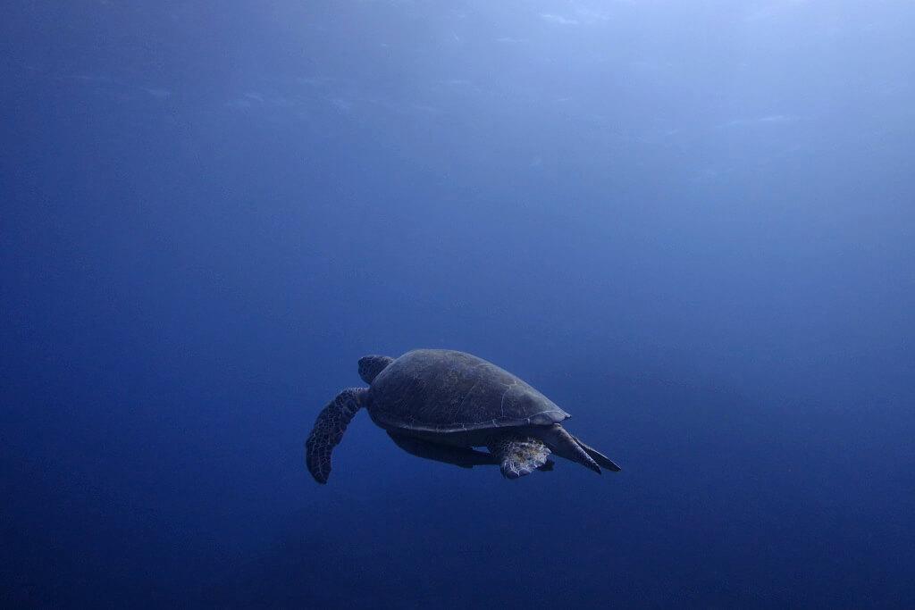 オスのアオウミガメ