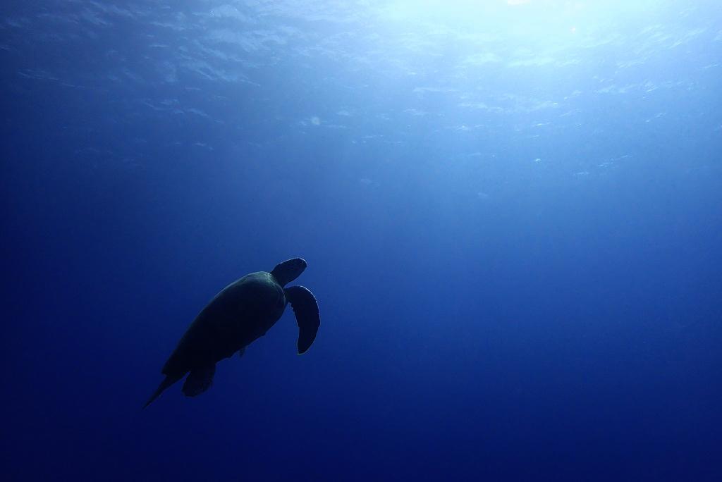 水面を目指すウミガメ