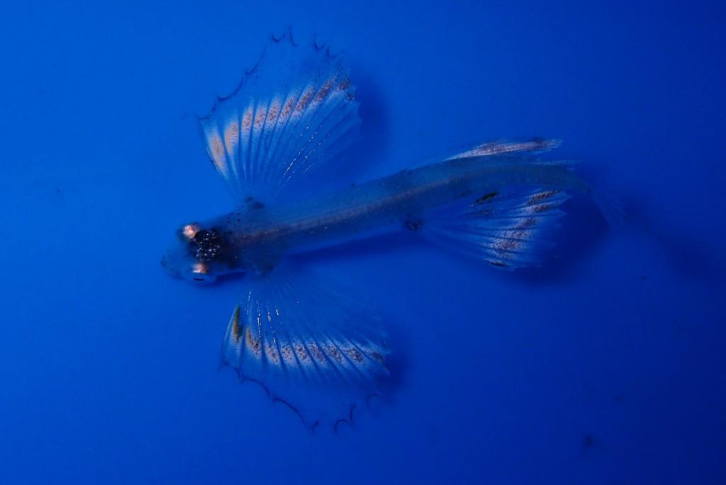 トビウオの稚魚