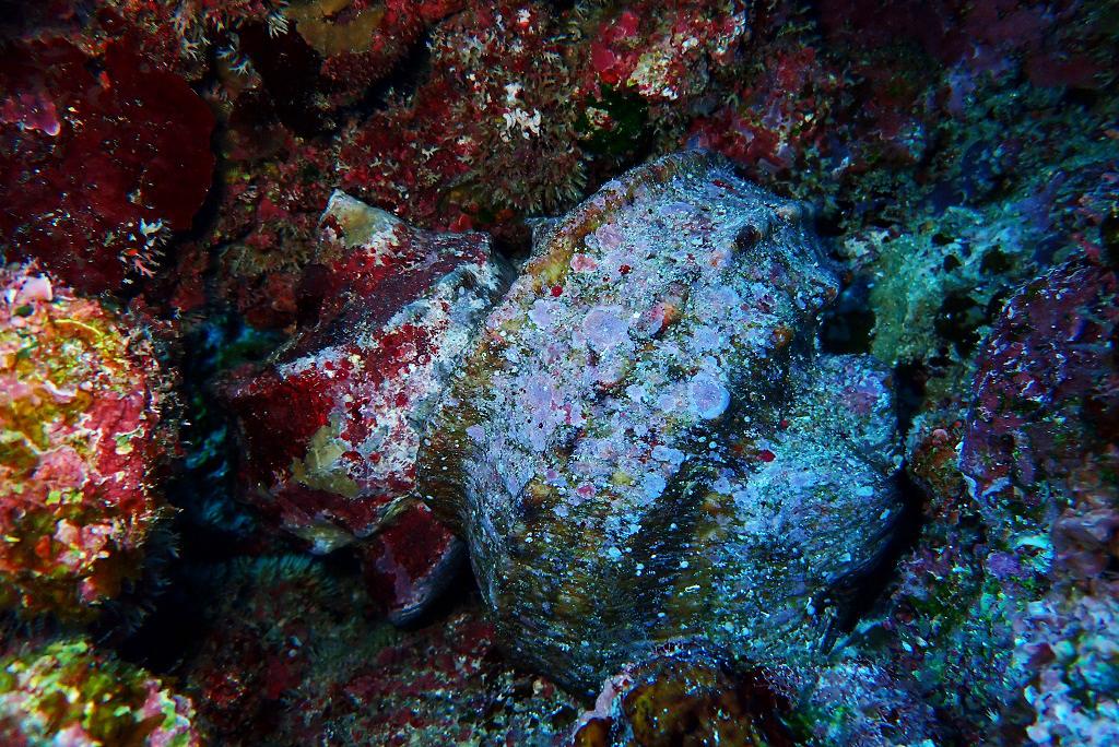 夜光貝のペア