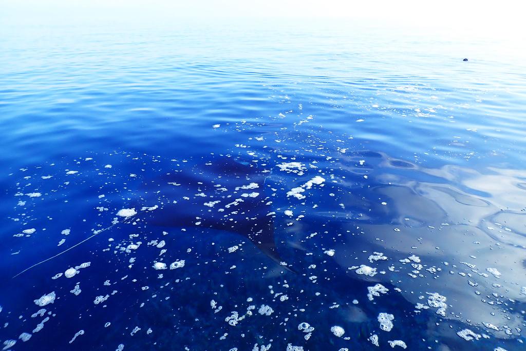 水面でマンタ