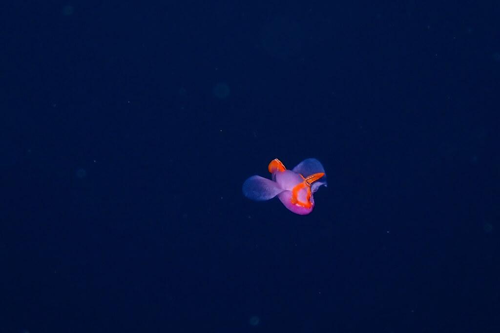 泳ぐムラサキウミコチョウ