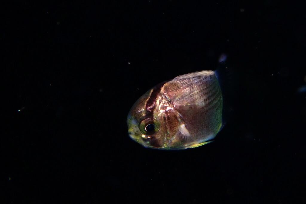 光に集まる稚魚