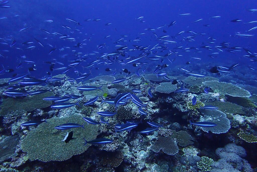 サンゴとグルクン