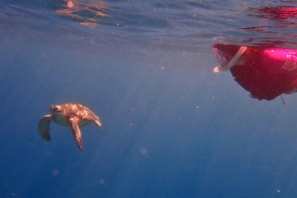 ウミガメとスノーケリング