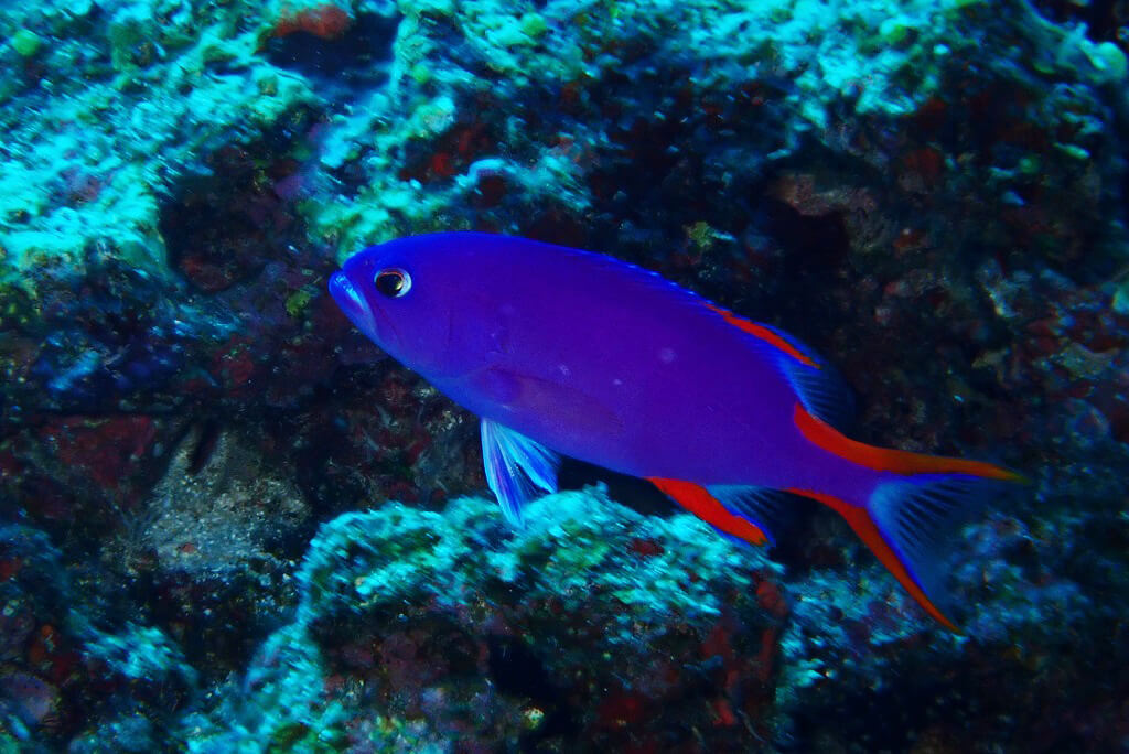 タテスジハタ若魚